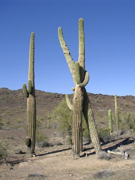 hugging-cactus