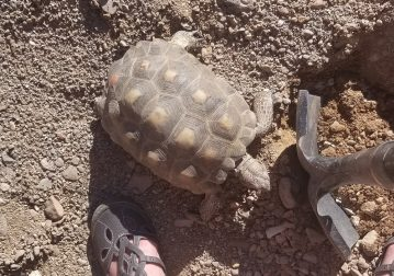 Minnie the Desert Tortoise